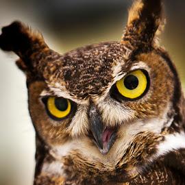 The Great Horned Owl by David Millenheft - Animals Birds ( bird, animals, beak, owl, raptor, feathers, eyes, animal )
