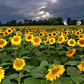 flowering fields by Andrzej Pradzynski - Landscapes Prairies, Meadows & Fields ( field, sky, flowering, sunflowers, rural )