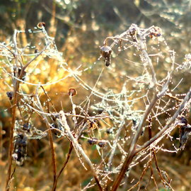 Morning Dew by Petrina Missons - Nature Up Close Webs ( plant, dew, web, sunlight, morning )