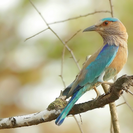 Indian Roller / Blue Jay  by Prashant Choudhary - Animals Birds