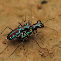 Azure Tiger Beetles