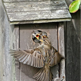 by Dennis Ba - Animals Birds ( birdhouse, sparrows, newborn birds, baby birds )