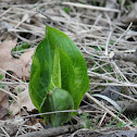 eastern skunk cabbage