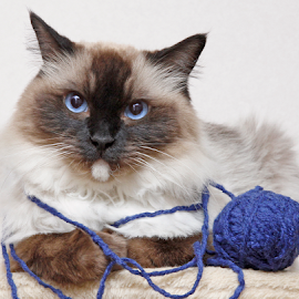 Couldn't care less by Mia Ikonen - Animals - Cats Portraits ( ragdoll, funny, finland, grumpy, expressive,  )