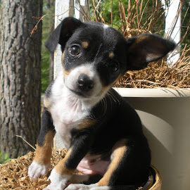 Our Cutie by Tiffany Justice - Animals - Dogs Puppies ( plant, flower pot, adorable, puppy, cute, dog )