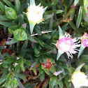 Ice Plant with Bloom