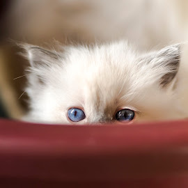 Peek a boo by Chris Froome - Animals - Cats Kittens ( cats )