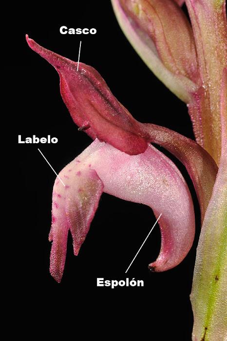 Perianto de Anacamptis coriophora