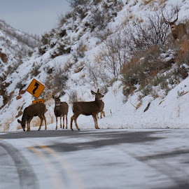 Check out the big buck on the hill by John Dodson - Animals Other Mammals