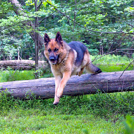 Flying Ryden by Sue Delia - Animals - Dogs Running ( german shepherd, woods, jump,  )