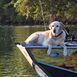Fishin' by Tim Davies - Animals - Dogs Portraits ( blonde, relaxed, fishing, dog, labrador, lab,  )