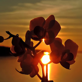 Orchids and sunset by Adriana Kastelan - Nature Up Close Other plants