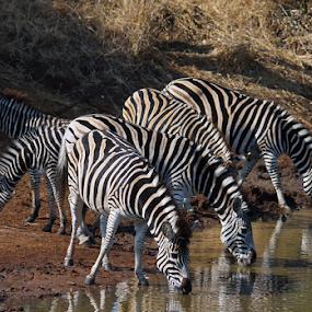 Stripes at the  Watering Hole by Gary Amendola - Animals Other Mammals ( watering hole, zebra, stripes,  )