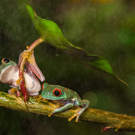 Best Couple  by Kutub Macro-man - Animals Amphibians ( wild, nature, red eye tree frog, animal,  )