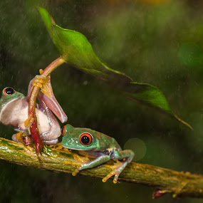Best Couple  by Kutub Macro-man - Animals Amphibians ( wild, nature, red eye tree frog, animal )