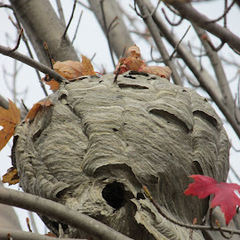 Hornets Nest by Jodi Mara - Nature Up Close Hives & Nests