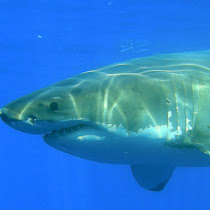 Sharks of the Southwest