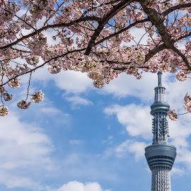 Skytree & cherry blossom, Tokyo by Steve Griffiths - City,  Street & Park  Skylines ( sky, tree, skytree, tokyo, blossom )