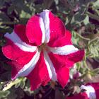 White Pink Petunia