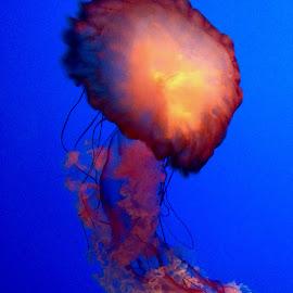 jellyfish by Aaron Crabtree - Animals Sea Creatures ( #jellyfish #massive )