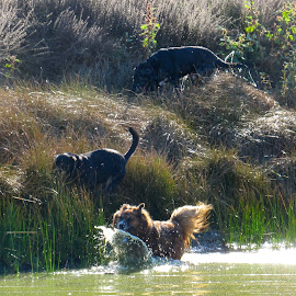 Making A Splash by Kathleen Koehlmoos - Animals - Dogs Running ( dogs swimming, dogs loving water, dogs love water, dogs in water, dogs running, dogs having fun, swimming,  )