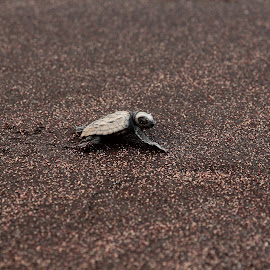 Olive Ridley turtle by Victoria Park - Animals Amphibians ( seashore, olive ridley turtle, waterscape, journey of life, sea,  )