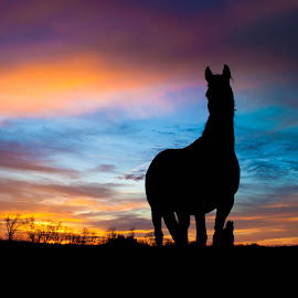 Silhouette by Ryan Davis - Animals Horses ( farm, painted, sky, sunset, silhouette, horse )