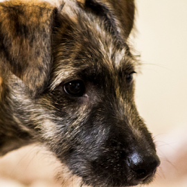 by Paul Scullion - Animals - Dogs Portraits ( x-breed, dog, young, lurcher, portrait, puppiy )