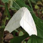White slant line moth