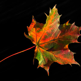 Maple leaf by Rune Askeland - Nature Up Close Leaves & Grasses ( autumn, colors, fall, leaf, maple )
