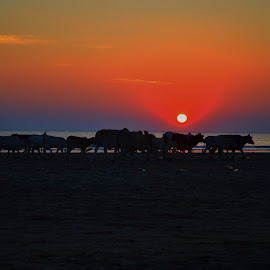 Cattles in the Beach by Melanie Navarro - Landscapes Sunsets & Sunrises