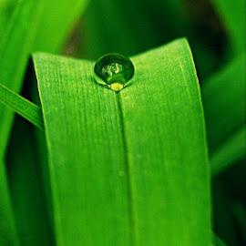 After rain by Slobodan Bobo Kovac - Nature Up Close Leaves & Grasses ( wild, macro, nature, grass, green, bobo, mazoce, raindrops, flowers, leaves, photo, spring,  )