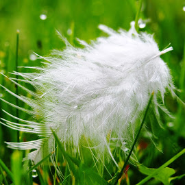 White feather by Petra Cvetko - Artistic Objects Other Objects ( nature, grass, green, dew, drops, white, close up, water droplets, softness, feather, soft )