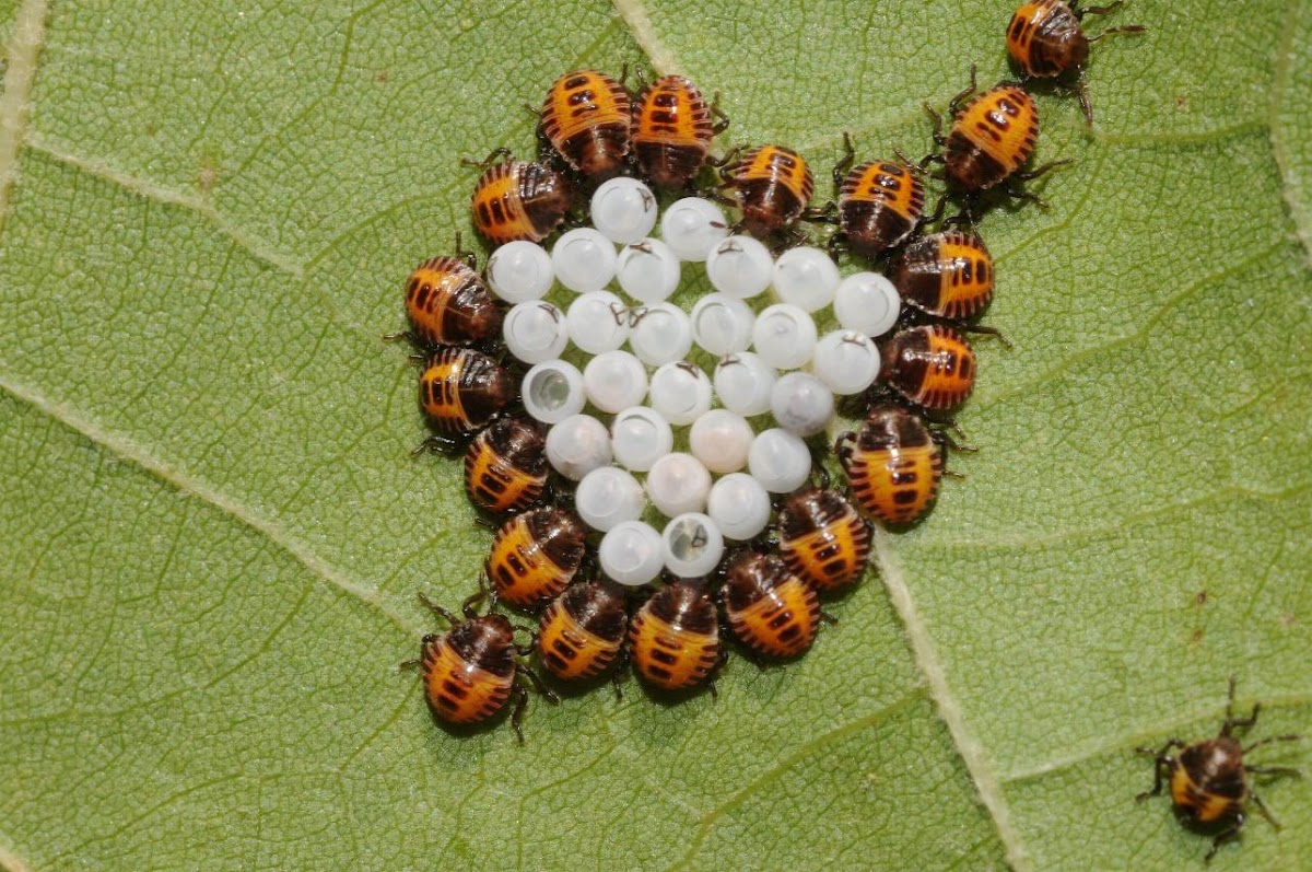 Stink bug (hatchlings)