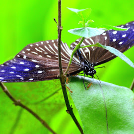 Butterfly by Kamalaprabhu Rathinasamy - Animals Insects & Spiders ( #malaysia #butterfly #lakegarden )