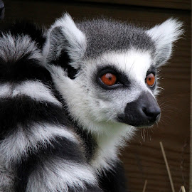 Ringtail Lemur by Ralph Harvey - Animals Other Mammals ( wildlife, ralph harvey, lemur, longleat, animal )