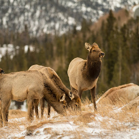 Elk in the Rockies  by Aaron Rigsby - Animals Other