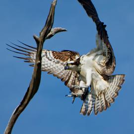 Osprey Landing by Joe Saladino - Animals Birds ( bird, animal, osprey )