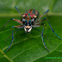 Golden-spotted Tiger Beetle