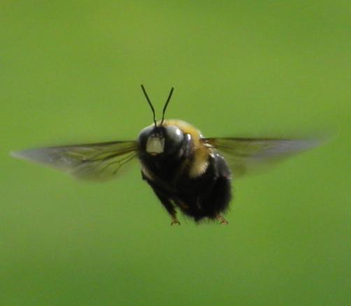 Male Eastern Carpenter Bee Eastern Carpenter Bee Male