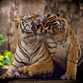 I bite YOu.... by Vincent Sinaga - Animals Lions, Tigers & Big Cats ( tiger, bite, sumatran tiger, mammal, animal )
