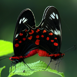 butterfly by Nitin Chauhan - Animals Insects & Spiders