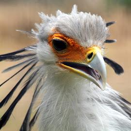 Secretary Bird by Ralph Harvey - Animals Birds ( bird, wildlife, ralph harvey, marwell zoo )