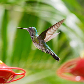 Whie Chested Emerald Hummingbird in mid flight by Leslie-Ann Boisselle - Novices Only Wildlife ( flight, wings, hummingbird, birds, tropics )
