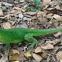 Spiny-tailed iguana,
