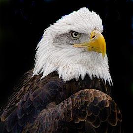 Royal Knight by John Larson - Animals Birds