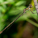 Caballito del diablo (Western Willow Spreadwing)