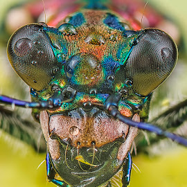 tiger beetle! by SweeMing YOUNG - Animals Insects & Spiders