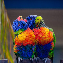 Lorikeet love by Emily James - Animals Birds ( lorikeets; birds; grooming; colourful; fence; backyard,  )