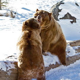 Grizzlies Faceoff by Lloyd Alexander - Animals Other Mammals ( bear, grizzly, yellowstone, lloyd alexander, nature, grizzlies, strength, power, wildlife, natural )